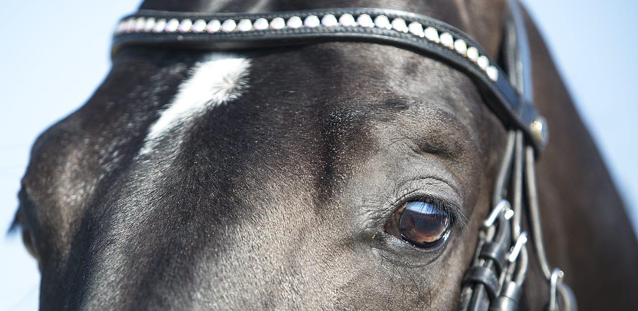 Golda Dressage paard